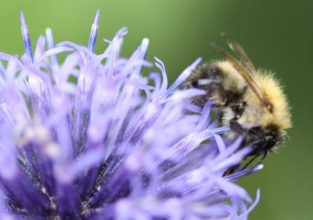 Echinops ritro & Bee 01