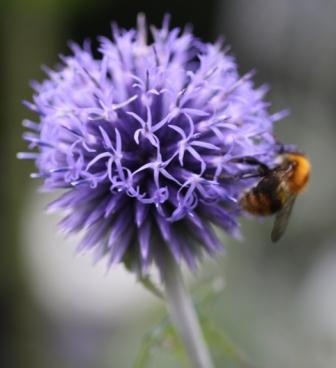 Echinops ritro & Bee 02