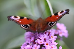 buddleja-and-butterfly