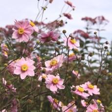 Anemone x hybrida 'Queen Charlotte'