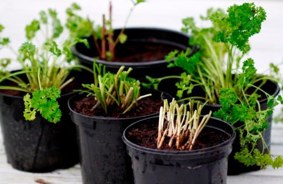 Grow herbs indoors in winter