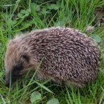 Hedgehog Thumbnail
