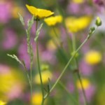 Wildflowers Thumbnail