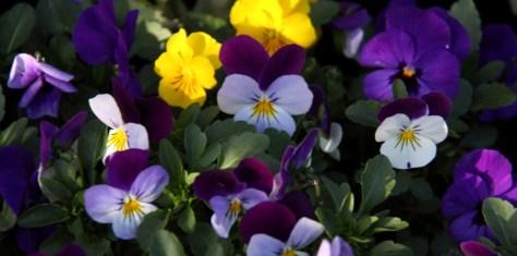 annual Viola