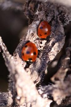 Ladybirds sunbathing