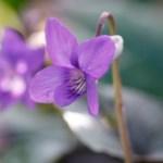 Viola Thumbnail