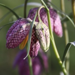 The buds give the plant their common name Snake's Head Fritillary