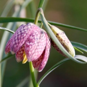 Fritillaria Thumbnail