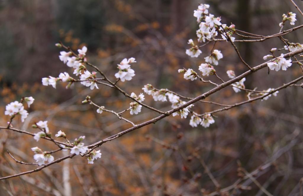 Prunus incisa 01