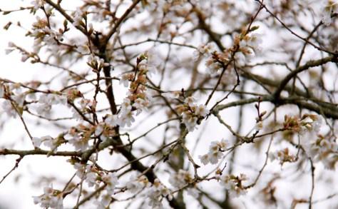 Prunus incisa 02