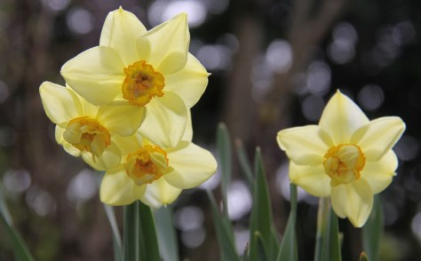 Daffodils 02