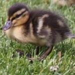 Duck Nest Thumbnail