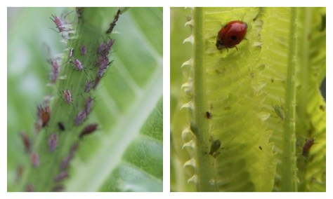 Ladybird-and-Aphids-on Teasel