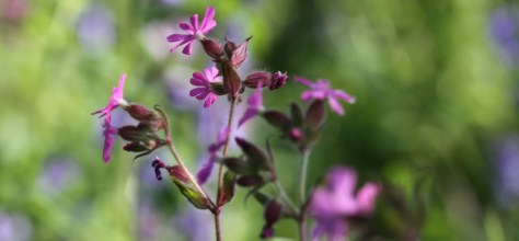 Red Campion Feat