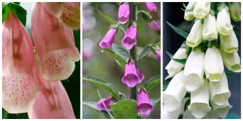 June Foxgloves
