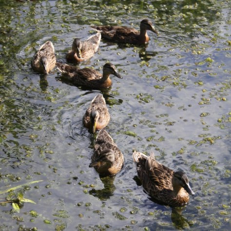 Ducklings on Pond