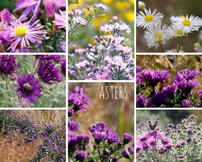 asters - web