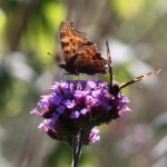 Verbena and Comma Web