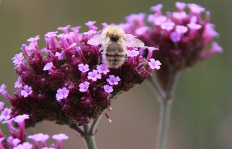 Verbena with Bee