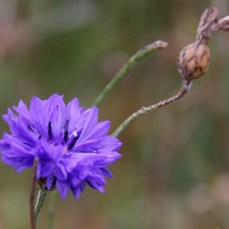 annual-cornflowers-oct