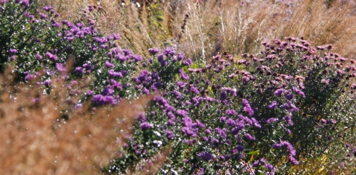 asters-with-grasses