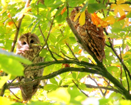 Tawny-Owls