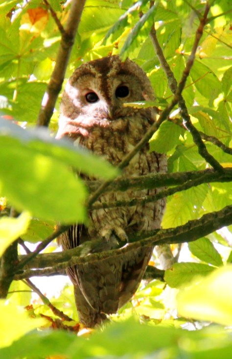 tawny-owl-youngster