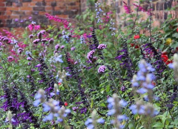 Perennial-Salvias