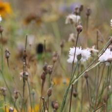 white-cornflowers-october