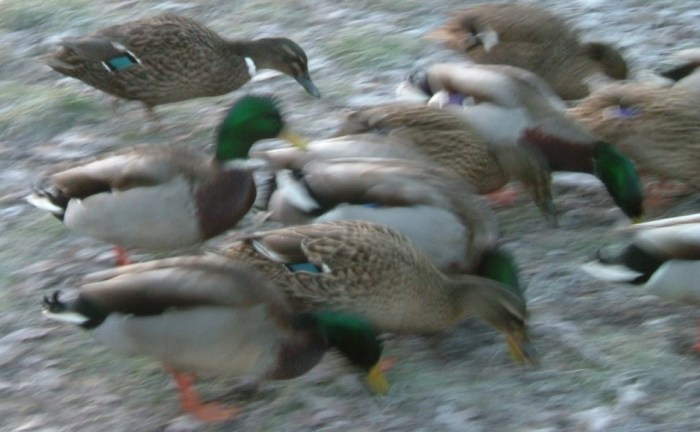 Feeding-Wild-Ducks