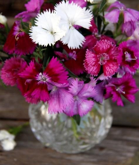Dianthus-barbatus