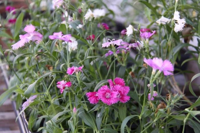 Dianthus-Greenhouse