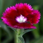 Dianthus-Thumbnail