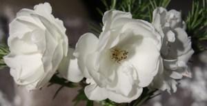 rose-header