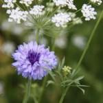 Wildflower-Thumbnail