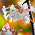 Viburnum-Dawn-Blossom-Thumbnail