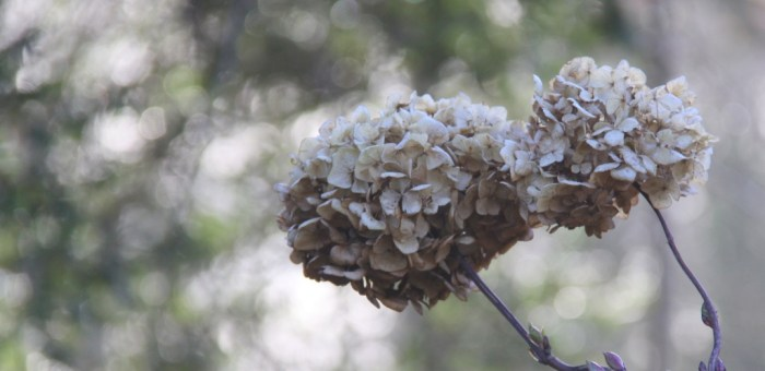 Hydrangea-Head-Feature