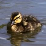 Duckling-Thumbnail