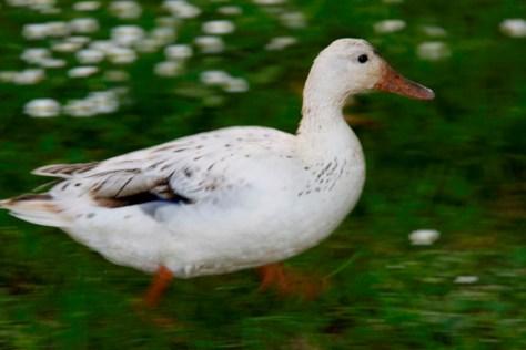 ducks-eat-slugs
