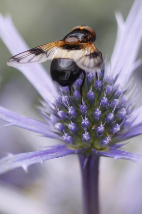 Eryngium-and-Bee