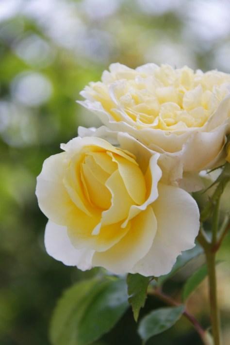 Rosa-The-Pilgrim-Strong-Stems