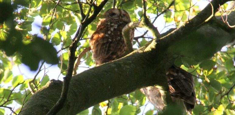 tawny owl header