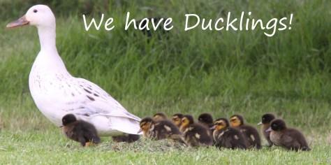 We-have-Ducklings
