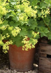Alchemilla-Pot
