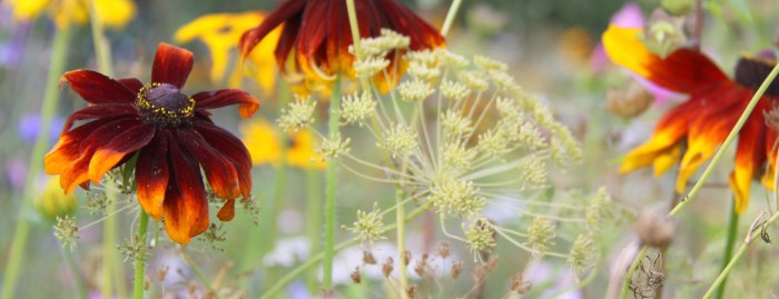 Rudbeckia-Header-Opt