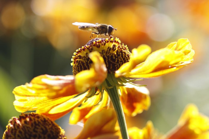 Heleniums-with-Hoverfly