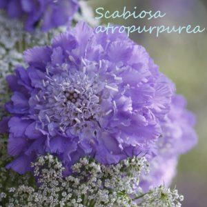 scabiosa-square