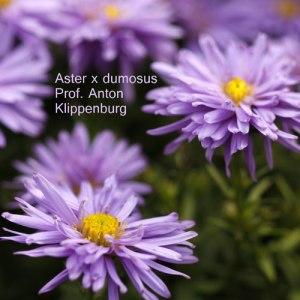 Aster-x-dumosus