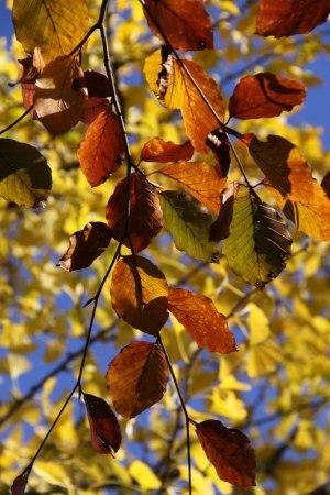Beech-leaves