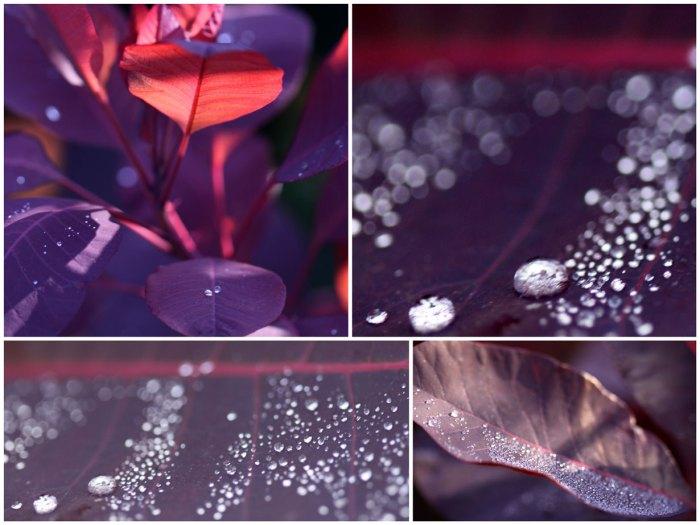 Cotinus-Rain-Collage